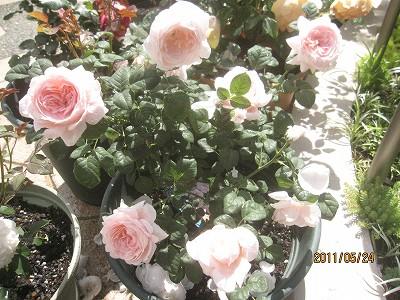 2011.5月 3年目のバラが満開です_c0038619_1855738.jpg