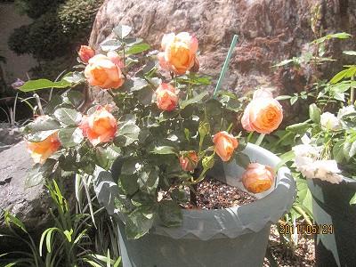 2011.5月 3年目のバラが満開です_c0038619_1861299.jpg