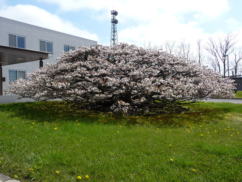 春 ・ ・ ・ かな?(根室より) 5月24日_f0113639_1644155.jpg