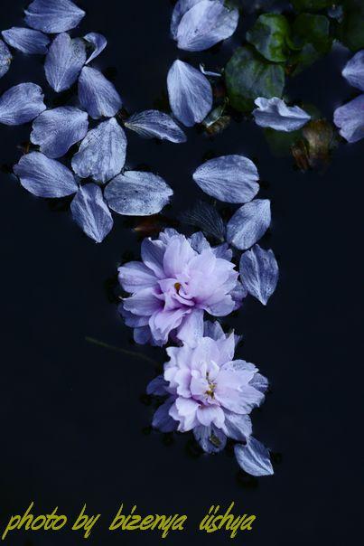 『散り桜』_d0086248_6535542.jpg