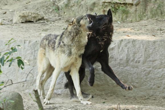 すくすくオオカミっ仔_d0227252_18432549.jpg