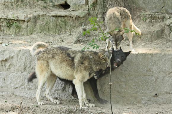 すくすくオオカミっ仔_d0227252_1846189.jpg