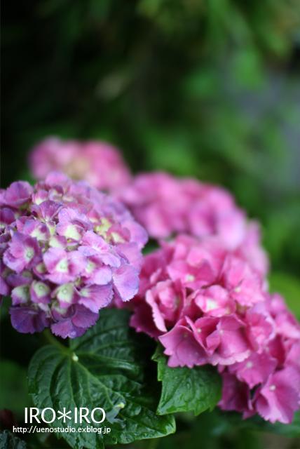 紫陽花の季節_e0199585_12455520.jpg