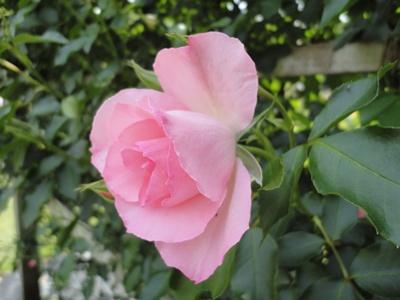 好きなバラ