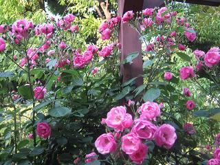 その他の庭植物進捗です_a0139242_6111873.jpg