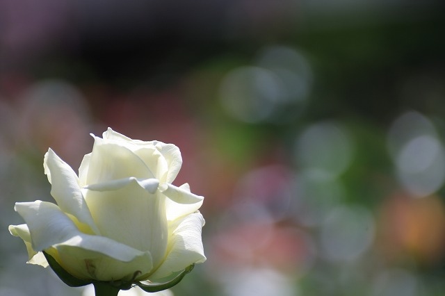 魅惑のバラ 4_c0155950_23365635.jpg
