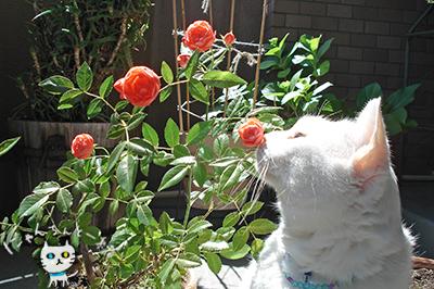 猫とミニ薔薇_e0031853_23581163.jpg