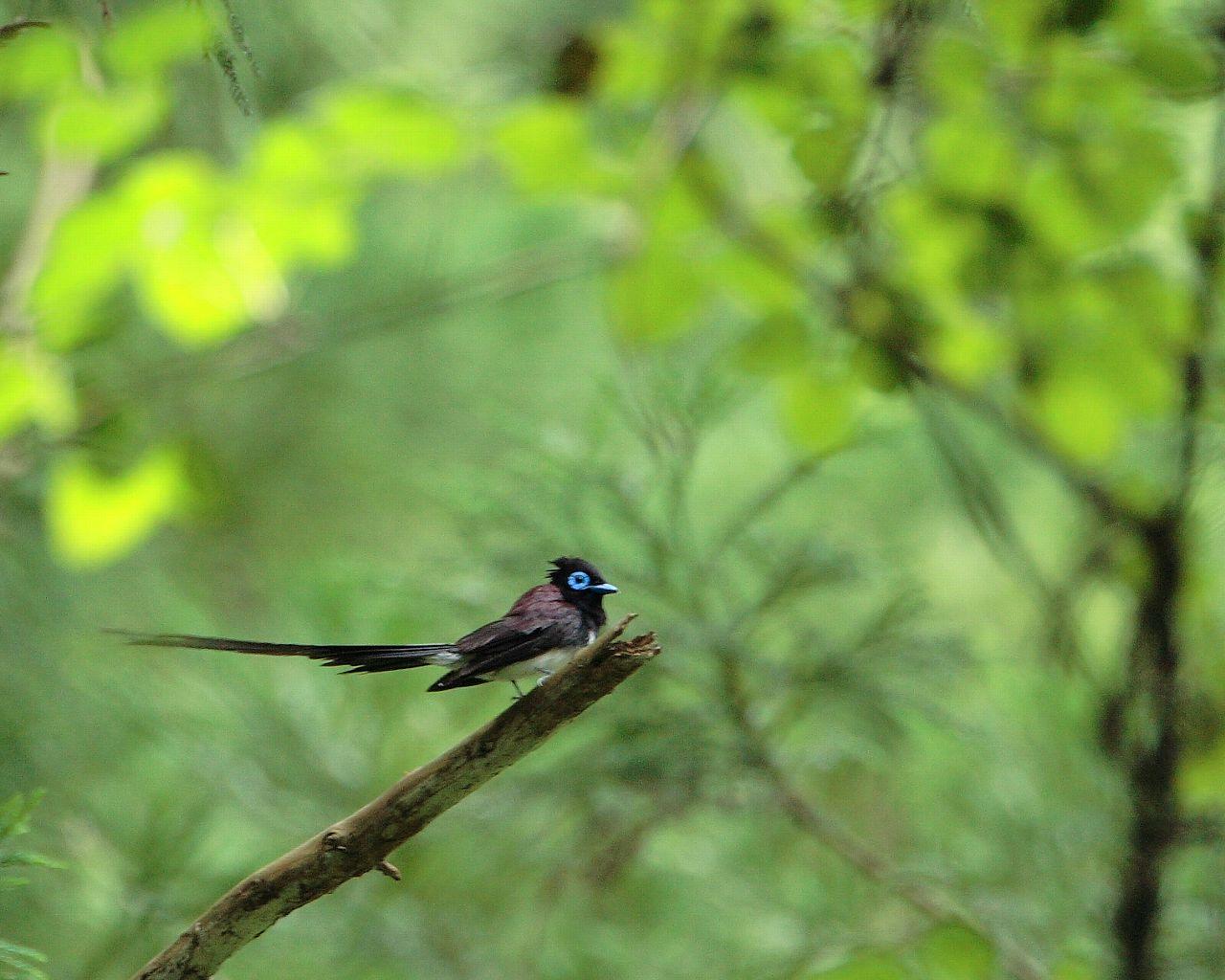 サンコウチョウ今年は会いたいな(グリーンバックの美しい野鳥の壁紙)_f0105570_2294729.jpg