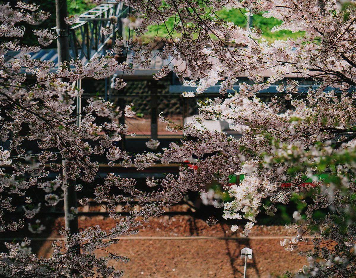 小樽散歩 51 「今年の桜」_b0103798_5224926.jpg