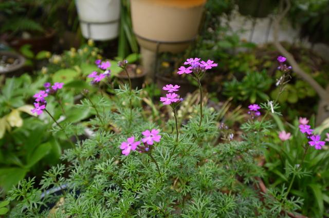 O邸の庭に咲く花々_e0214805_18224368.jpg