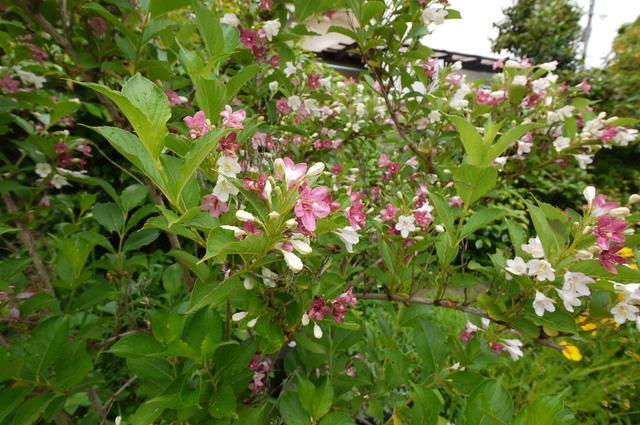 O邸の庭に咲く花々_e0214805_18233552.jpg