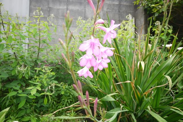 O邸の庭に咲く花々_e0214805_18251655.jpg