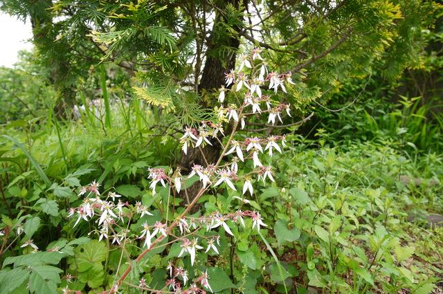 O邸の庭に咲く花々_e0214805_18252937.jpg