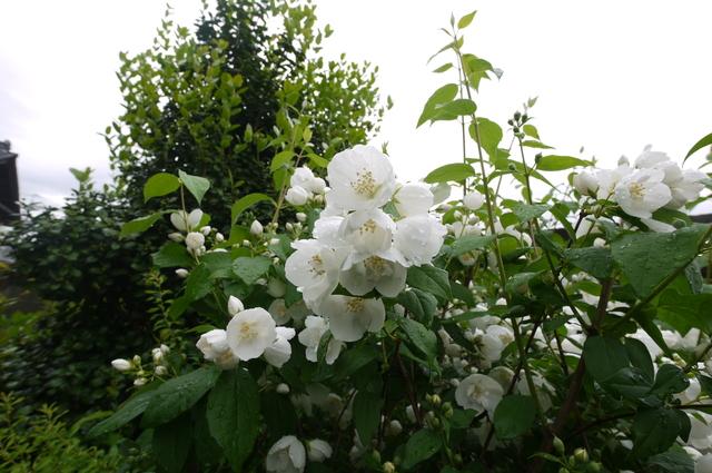 O邸の庭に咲く花々_e0214805_18255769.jpg