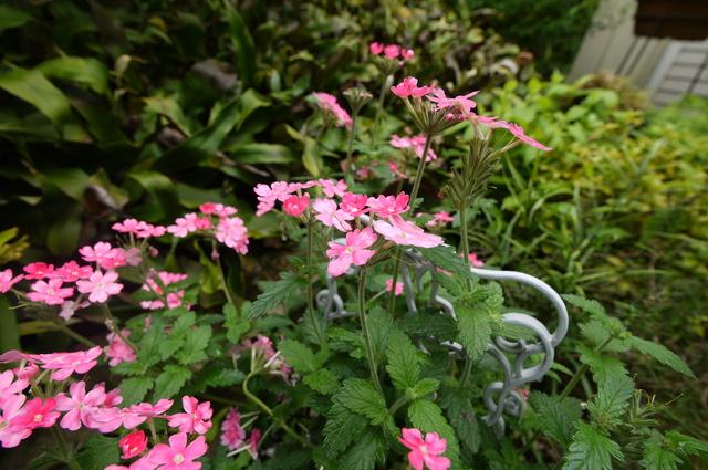 O邸の庭に咲く花々_e0214805_18264877.jpg
