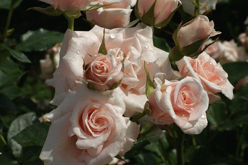 雨も似合うバラ!一層鮮やかに華やかに!★その2_a0122932_8561439.jpg