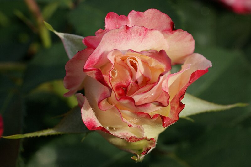 雨も似合うバラ!一層鮮やかに華やかに!★その2_a0122932_9171129.jpg