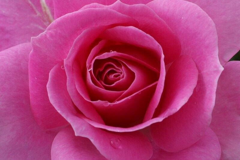 雨も似合うバラ!一層鮮やかに華やかに!★その2_a0122932_952926.jpg