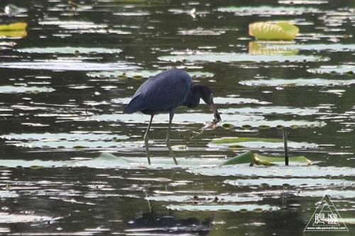 105 Sheldon Lake State Park ~野生のワニ~_c0211532_22213565.jpg