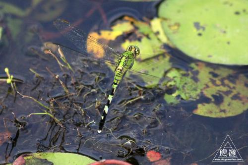 105 Sheldon Lake State Park ~野生のワニ~_c0211532_2228264.jpg