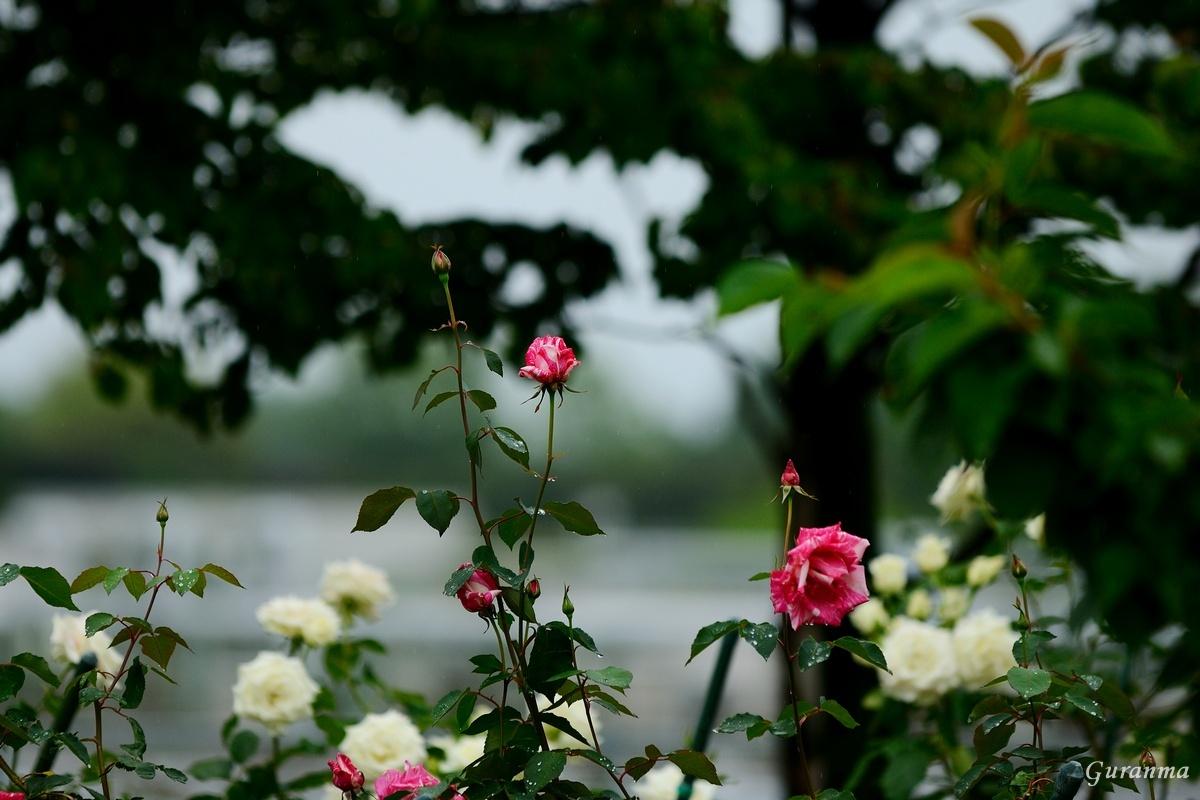 雨の公園・_c0124055_2148230.jpg
