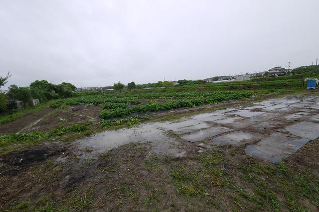 毎年恒例の芋掘り_e0214805_948543.jpg