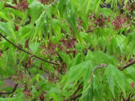 新緑の紅葉も良いですね!_f0146620_23244698.jpg