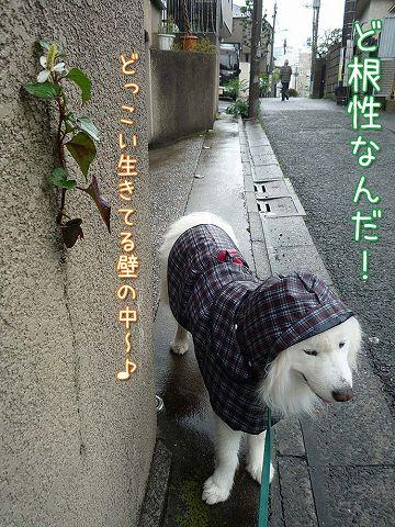 毎日雨雨カッパッパ_c0062832_1641418.jpg