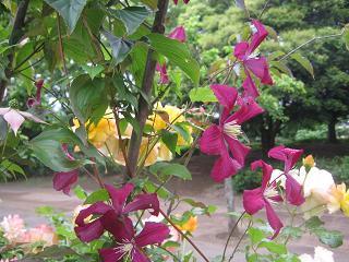 今日も雨なので花便りです。_a0139242_812220.jpg