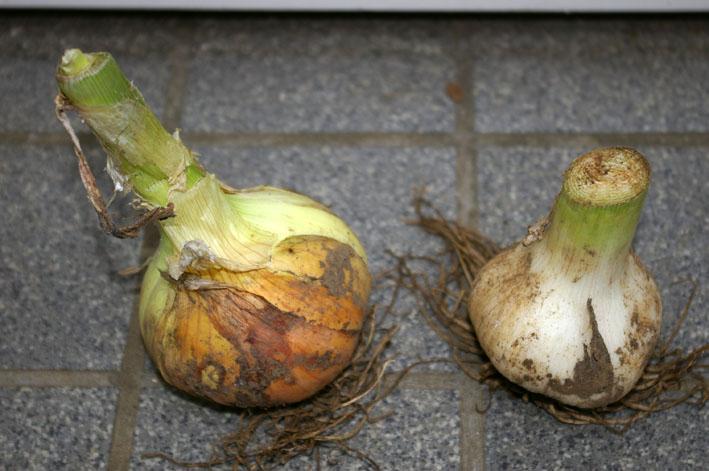 ビックなニンニク収穫、タマネギも(2011年5月27日)_c0014967_14272253.jpg