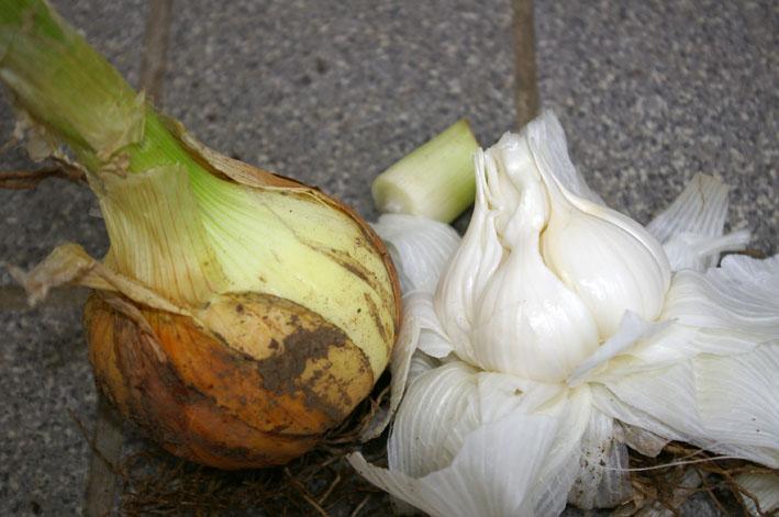 ビックなニンニク収穫、タマネギも(2011年5月27日)_c0014967_14273727.jpg