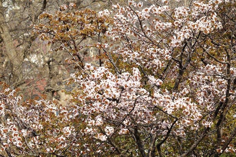 番外 宗谷岬のウミアイサ / 桜満開_b0024798_4111872.jpg