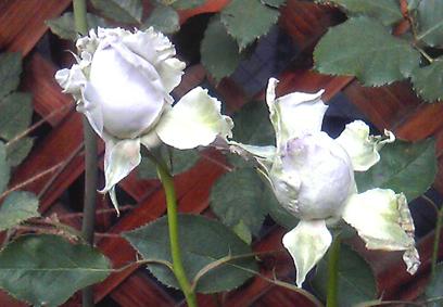 …咲くのかな?_a0111125_1961349.jpg
