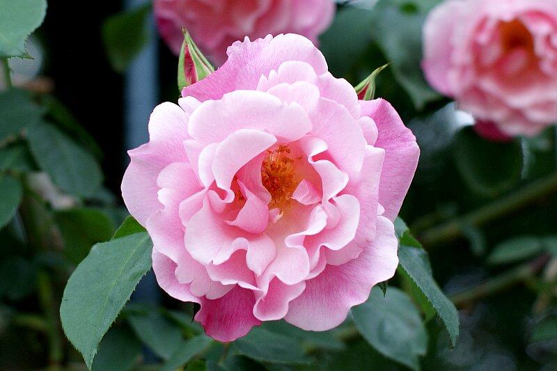 雨も似合うバラ!一層鮮やかに華やかに!★その4_a0122932_520372.jpg