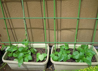 野菜の成長、早いなぁ。_e0097534_14305295.jpg