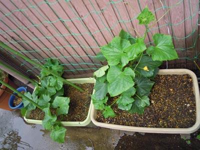 野菜の成長、早いなぁ。_e0097534_14332530.jpg