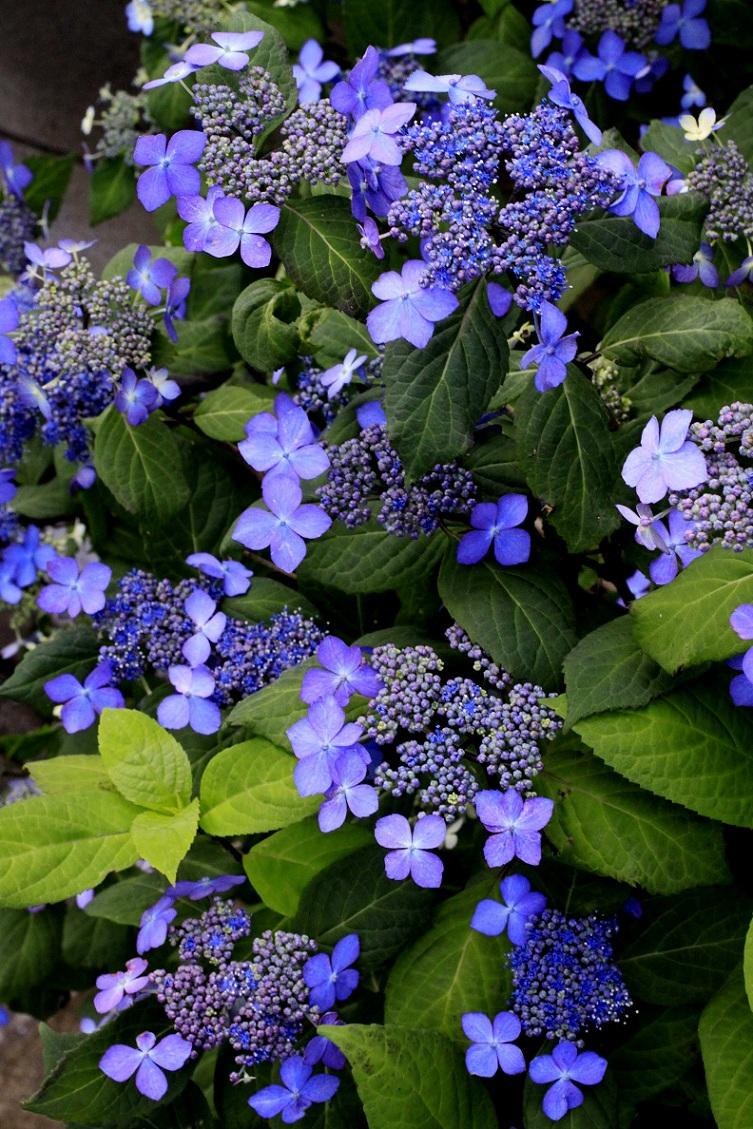 山アジサイ  白花アジサイ  そよご_a0107574_20504534.jpg