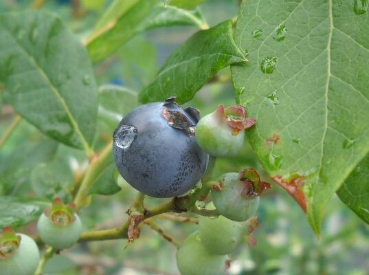 ブルーベリーの季節がやってきた_f0018078_18242333.jpg