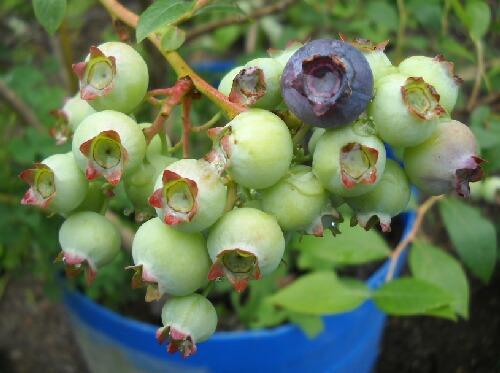 ブルーベリーの季節がやってきた_f0018078_1829030.jpg