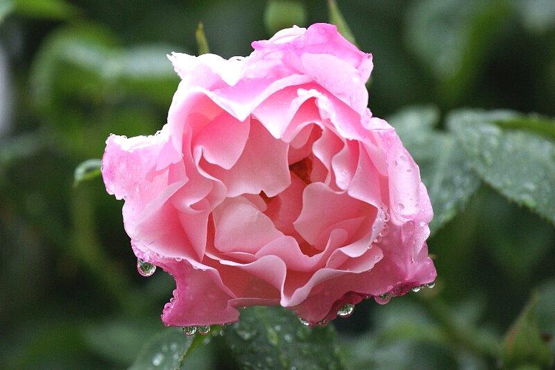 雨も似合うバラ!一層鮮やかに華やかに!★その4_a0122932_15283.jpg