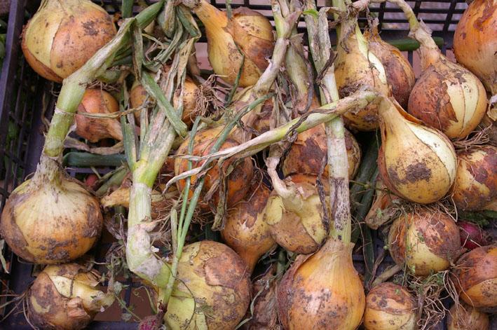 梅雨の晴れ間に、ニンニクとタマネギを全て収穫:5・31_c0014967_19355484.jpg