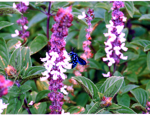 Blue  Bee   ブルービー_f0127281_2232326.jpg
