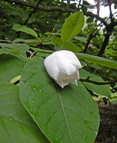6月1日 春の終りの赤城自然園 オオヤマレンゲ_a0001354_22341341.jpg
