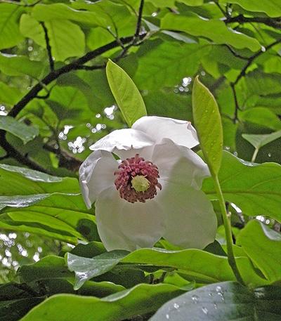 6月1日 春の終りの赤城自然園 オオヤマレンゲ_a0001354_22361238.jpg