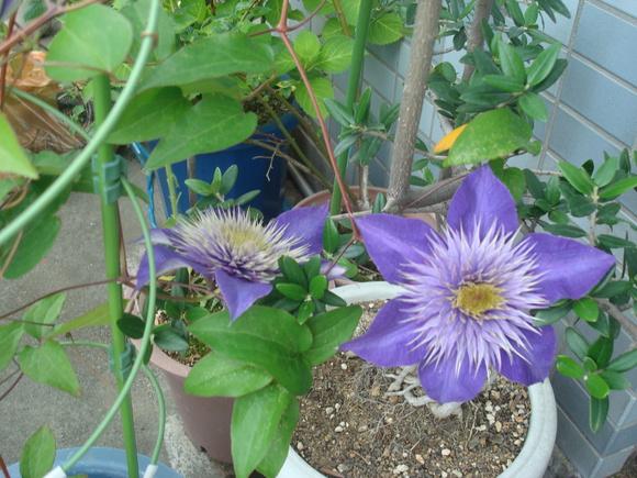 ベランダ菜園その後: flowers and harvests in balcony_a0186568_23321163.jpg