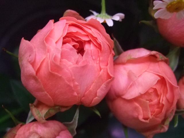 オークリーフ(梅雨時期の花たち)_f0049672_18202576.jpg