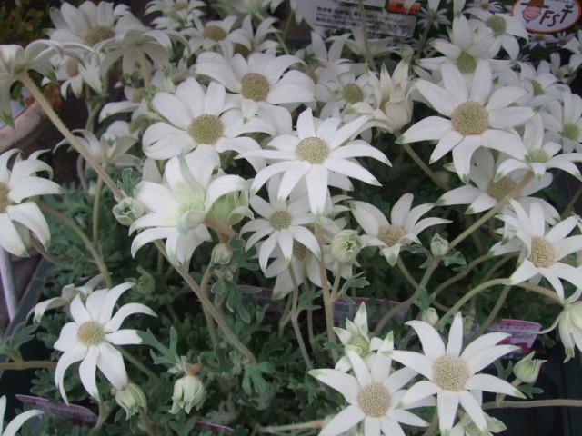 オークリーフ(梅雨時期の花たち)_f0049672_1865912.jpg