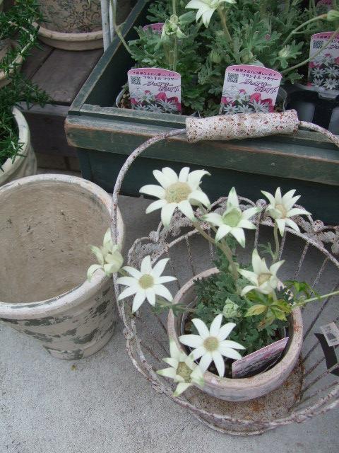 オークリーフ(梅雨時期の花たち)_f0049672_1871670.jpg