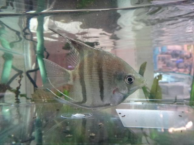 熱帯魚・水草・金魚_f0189122_13212379.jpg