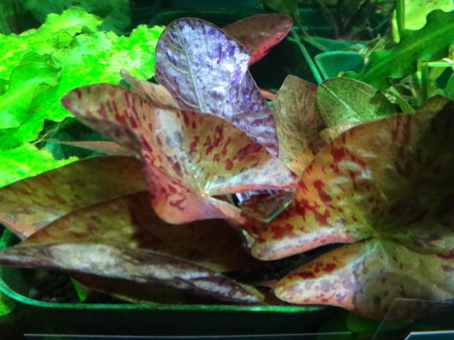 熱帯魚・水草・金魚_f0189122_13461376.jpg